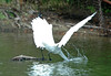 "<div class=""jaDesc""> <h4> Great Egret Lightning Strike - August 2006 </h4> </div>"