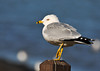 """<div class=""""jaDesc""""> <h4> Ring-billed Gull on Sentry Duty - Feb 20, 2012 </h4> <p> This Ring-billed Gull was standing guard on a post at the entry to the Treman Marine Park boat docks area (Ithaca, NY).</p> </div>"""