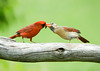 "<div class=""jaDesc""> <h4> Male Cardinal Courting Female by Passing Sunflower Seed</h4> <p></p> </div>"