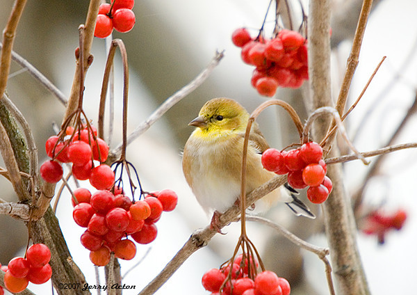 "<div class=""jaDesc""> <h4> Goldfinch in Cranberry Bush - Horizontal</h4> </div>"