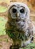 "<div class=""jaDesc""> <h4> Juvenile Barred Owl Standing in Bog</h4> </div>"