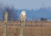 """<div class=""""jaDesc""""> <h4> Female Snowy Owl Resting - Amherst Island - January 31, 2012</h4> <p> She perched on this distant post for almost half an hour, slowly looking back and forth.</p> </div>"""