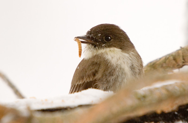 """<div class=""""jaDesc""""> <h4>Phoebe Eating Mealworm - April 16, 2007 </h4> <p>I put some mealworms on one of the feeder perches.  The Phoebes were very appreciative.</p> </div>"""
