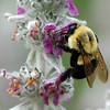 "<div class=""jaDesc""> <h4> Bumblebee on Lamb's Ears</h4> </div>"