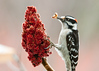 """<div class=""""jaDesc""""> <h4> Male Downy Woodpecker at Sumac - February 9, 2013 </h4> <p> I spread some peanut butter on this sumac seed head to see what would happen.  I don't think this Downy Woodpecker cares for the sumac, but he definitely likes the peanut butter.  I'm looking forward to seeing who else shows up.</p> </div>"""