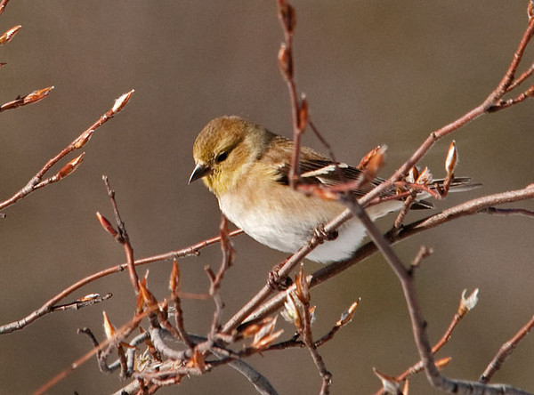 """<div class=""""jaDesc""""> <h4> Goldfinch Eating Tree Buds - February 4, 2010 - Video Attached </h4> <p>  I was not happy when the Goldfinches started eating the buds on our serviceberry trees.  After all, there is plenty of niger seed out for them.</p> </div> <center> <a href=""""http://www.youtube.com/watch?v=Uu4WIU5Sf8Y"""" style=""""color: #0AC216"""" class=""""lightbox""""><strong> Play Video</strong></a> </center>"""