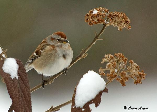 "<div class=""jaDesc""> <h4> Tree Sparrow in Snowy Viburnum Bush </h4> </div>"