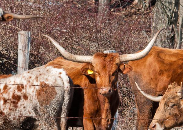 """<div class=""""jaDesc""""> <h4> Texas Longhorn Cattle - Rich Brown - January 27, 2013</h4> <p></p> </div>"""