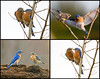 "<div class=""jaDesc""> <h4> Bluebird Courtship Collage </h4> <P> <p> </div>"