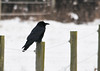 """<div class=""""jaDesc""""> <h4> Raven on Fence Post - December 27, 2012 </h4> <p> We have had a pair of Ravens fly over our house almost daily for the past month.  Today they landed in our lower horse pasture - one on a fence post and the other on the ground nearby.  This was a very long range shot.  Hopefully they will stop in again soon.</p> </div>"""