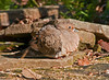 """<div class=""""jaDesc""""> <h4> Mourning Dove - Basking in Morning Sun - March 30, 2012 </h4> <p>This Mourning Dove found a nice sunny spot on a warm rock to sun bath. She was there for over 20 minutes preening and napping.</p> </div>"""