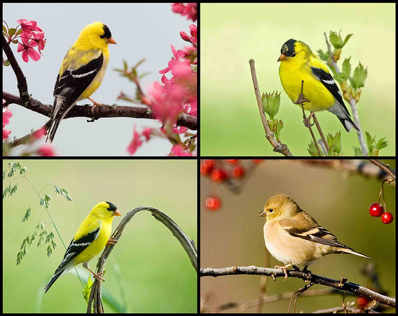 "<div class=""jaDesc""> <h4> Goldfinch Collage </h4> <P> <p> </div>"