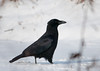 """<div class=""""jaDesc""""> <h4> Crow Strutting in Snow - January 3, 2012 </h4> <p> This Crow was bolder than the others.  He had an """"I'm cool"""" swagger to his strut. </p> </div>"""