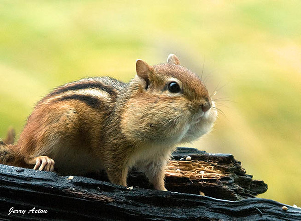 """<div class=""""jaDesc""""> <h4> Chipmunk - Cheeks Full - October 17, 2009</h4> <p> This Chipmunk's name is Hoover.  He vacuums up bird seed at an amazing speed, makes a run to his den, and returns for another round.  He has about 20 sunflower seeds in each cheek. </p> </div>"""