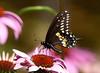 "<div class=""jaDesc""> <h4> Black Swallowtail on Coneflower</h4> </div>"