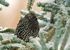 "<div class=""jaDesc""> <h4> Starling on Frigid Morning </h4> </div>"