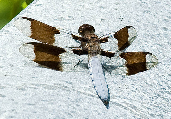 """<div class=""""jaDesc""""> <h4> Male Common Whitetail Dragonfly Warming on Rock - July 3, 2009 </h4> <p>  </p> </div>"""