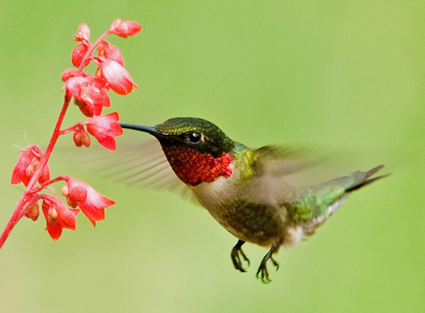 """<div class=""""jaDesc""""> <h4>Hummingbird at Coral Bells - May 31, 2007 </h4> <p> When the Ruby-throated Hummingbirds first arrive in spring, one of the nectar plants they spend the most time on are the coral bells. This photo is of the male whose throat shines bright red when the light strikes it just right. </p> </div>"""