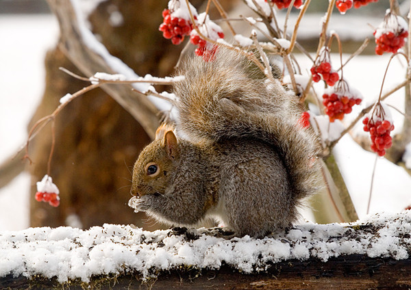 "<div class=""jaDesc""> <h4> Gray Squirrel on Bird Feeding Log</h4> </div>"