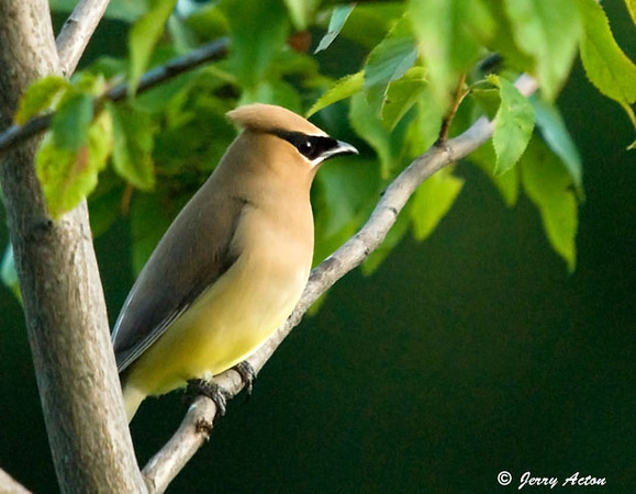 """<div class=""""jaDesc""""> <h4> Cedar Waxwing Perched - July 10, 2009</h4> <p> The feathers of these beautiful Cedar Waxwings often look like they are painted on - they are so smooth. </p> </div>"""