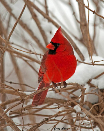 """<div class=""""jaDesc""""> <h4>The Boss Male Cardinal - February 10, 2010 </h4> <p>  This male Cardinal is in his full breeding plumage.  He had just finished an aerial tussle with another male right above the female who was perched on a fence wire.  I think the other male Cardinal is this guy's son from last year.</p> </div>"""