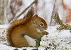 """<div class=""""jaDesc""""> <h4> Red Squirrel Enjoying Sunflower Seeds - January 25, 2013 </h4> <p> I love the way he curls his tail up along his back.  He ate sunflower seeds non-stop for about 10 minutes at this feeder and that was after he had been at another feeder for about 10 minutes as well.</p> </div>"""