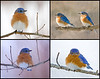 "<div class=""jaDesc""> <h4> Male Bluebirds Collage </h4> <P> <p> </div>"