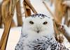 """<div class=""""jaDesc""""> <h4> Female Snowy Owl Close-up </h4> </div>"""
