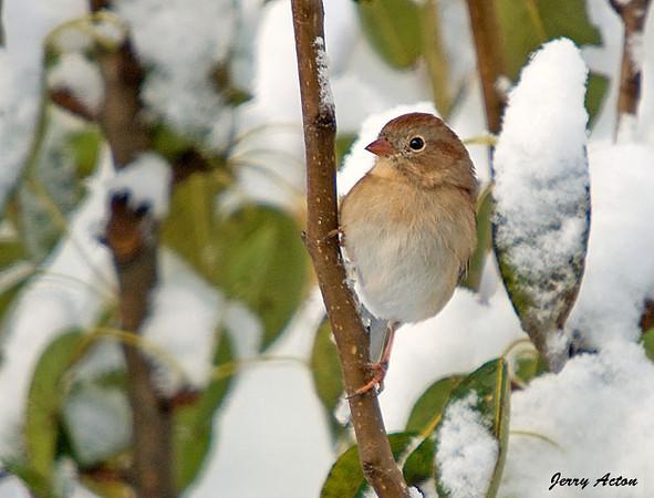 "<div class=""jaDesc""> <h4> Field Sparrow in Snowy Pear Tree</h4> </div>"