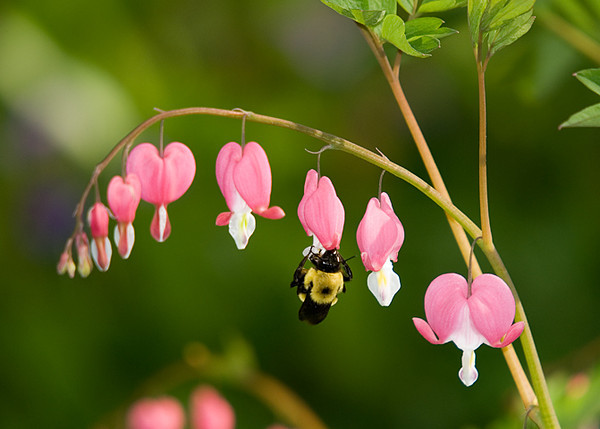 """<div class=""""jaDesc""""> <h4> Bumblebee on Bleeding Heart - April 25, 2008 </h4> <p>  While waiting for some bird to show up at a bird bath, I noticed this Bumblebee working on a bleeding heart plant.  Taken while on vacation in southern Pa.</p> </div>"""