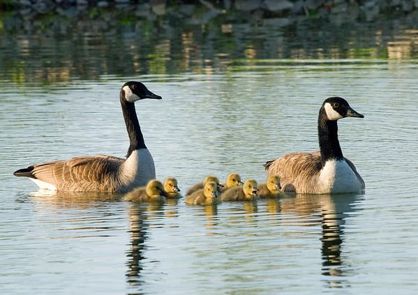 """<div class=""""jaDesc""""> <h4> Canada Geese Family</h4> </div>"""