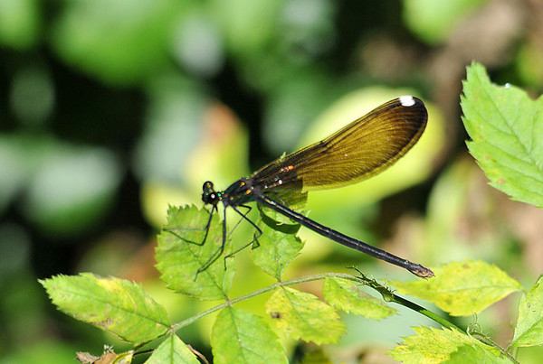 """<div class=""""jaDesc""""> <h4> Female River Jewelwing Dragonfly - June 21, 2010 </h4> <p>  </p> </div>"""