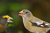 """<div class=""""jaDesc""""> <h4>Evening Grosbeak Flock Arrives - October 24, 2012 - Video Attached </h4> <p>There was a report last week of a flock of Evening Grosbeaks about 12 miles from our house.  Three days ago, a flock of 16 flew over our house, landing in the trees across the road.  I rushed into the garage to get lots of sunflower feed.  I spread 3 quarts around at 6 different feeders.  They took the bait.  This is one of the 6 females.</p> </div> <center> <a href=""""http://www.youtube.com/watch?v=DdWnxQAO5M0 """" style=""""color: #0AC216"""" class=""""lightbox""""><strong> Play Video</strong></a> </center>"""