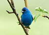 "<div class=""jaDesc""> <h4> SUMMER - Male Indigo Bunting Brightening Our Backyard </h4> </div>"