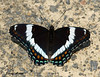"<div class=""jaDesc""> <h4> White Admiral Butterfly - Top View - June 16, 2009</h4> <p>This White Admiral butterfly was flying around in front of my garage and decided to rest on the driveway for a few seconds.</p> </div>"
