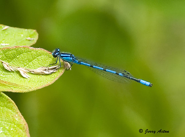 "<div class=""jaDesc""> <h4> Northern Bluet Damselfly Dragonfly on Leaf - June 3, 2009 </h4> <p>  </p> </div>"