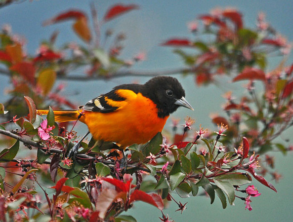 "<div class=""jaDesc""> <h4> Male Baltimore Oriole in Crabapple Tree</h4> </div>"