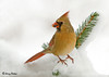 "<div class=""jaDesc""> <h4> Female Cardinal on Snowy Pine Branch</h4> </div>"