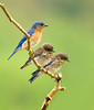 "<div class=""jaDesc""> <h4> Dad and Baby Bluebirds</h4> </div>"