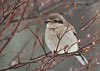 """<div class=""""jaDesc""""> <h4> Northern Shrike Pays a Visit - February 29, 2012 </h4> <p> I never know when a Northern Shrike might show up.  When I have just finished putting the morning seed out and there are no birds around, I start looking for a hawk.  To my surprise this guy was perched right in the middle of the front yard feeder area.</p> </div>"""
