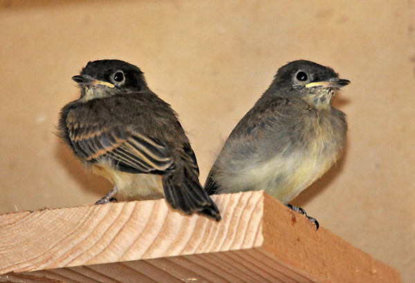 """<div class=""""jaDesc""""> <h4> 2 Phoebe Chicks Out of Nest - July 5, 2010 </h4> <p>These 2 Phoebe chicks were first to leave the nest box. They took turns perching on top of the box and on the garage door rails, but stayed inside the garage.</p> </div>"""