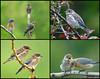 "<div class=""jaDesc""> <h4> Juvenile Bluebirds Collage </h4> <P> <p> </div>"