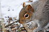 """<div class=""""jaDesc""""> <h4> Gray Squirrel Surveying Seed on Ground - February 7, 2013 </h4> <p> Before diving in, this Gray Squirrel took a good long look around at all the sunflower seeds there were at the base of this tree.</p> </div>"""
