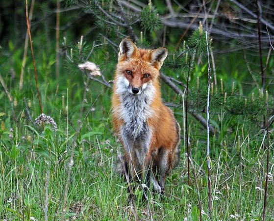 "<div class=""jaDesc""> <h4> Adult Red Fox Sitting</h4> </div>"