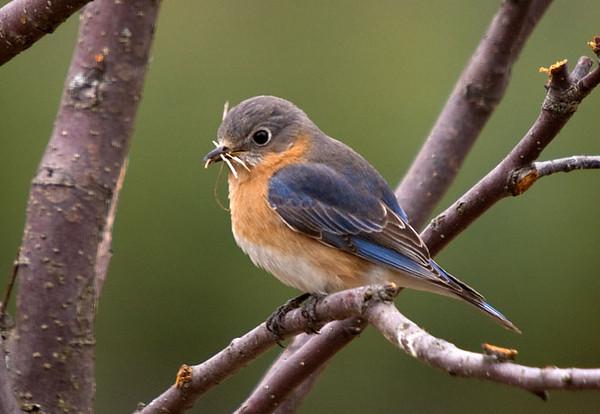 """<div class=""""jaDesc""""> <h4> Female Bluebird with Nesting Material </h4> </div>"""