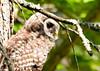 "<div class=""jaDesc""> <h4> Juvenile Barred Owl Looking for Voles</h4> </div>"