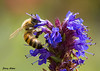 "<div class=""jaDesc""> <h4> Honey Bee on Hyssop Flowers - July 17, 2009 </h4> <p>  While trying to photograph a butterfly, I noticed Honey Bees all over our hyssop flowers.</p> </div>"