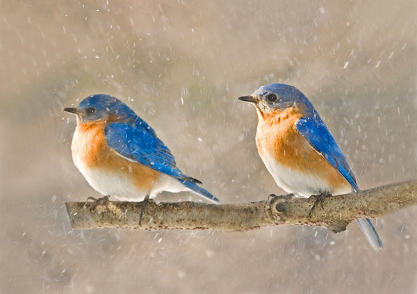 "<div class=""jaDesc""> <h4> Male Bluebirds in Snow Squall</h4> </div>"