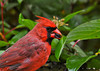 """<div class=""""jaDesc""""> <h4>Soggy Dad Cardinal on Rainy Day - October 23, 2012 </h4> <p>Wet feathers accentuated the red on this adult male Cardinal.  He was chowing down on sunflower seeds in a steady rain. </p> </div>"""
