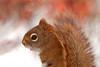 "<div class=""jaDesc""> <h4> Red Squirrel Close-up</h4> </div>"